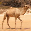 15 Cool Facts about Camels